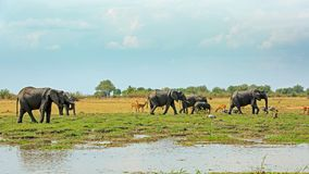 Scenic African view with elephants and various other animals and birds on the open plains. African Vista with a herd of elephants, Puku Anteopes, Baboons and Royalty Free Stock Photo