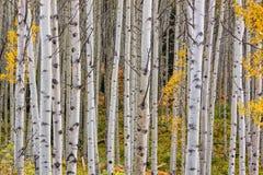 Scenic Aspen Grove in Autumn Stock Photos