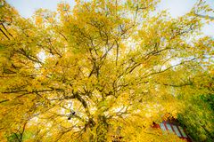 Scenic autumn landscape. Of big golden color tree stock images