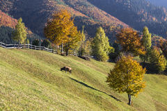 Scenic autumn landscape with cow grazing on a pasture. Royalty Free Stock Image