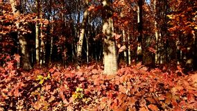 Beautiful autumn forest shot with dolly stock footage