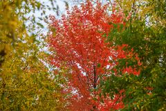 Scenic, beautiful vivid colorful autumn Branches trees of three bright colors, red, yellow, green on background of sky Royalty Free Stock Photo