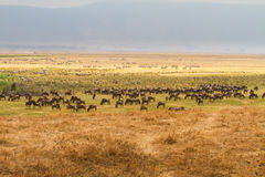 Wildebeest migration in Ngorgoro crater Stock Photography