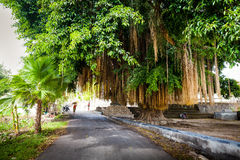 Scenic big tropical green tree on the white background. Great huge tropical live green Ficus nature tree with tunnel arch of interwoven tree roots at the base Stock Photos