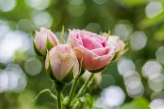 A scenic, blurred pink rose buds. Defocused picture. Natural blurred background, soft bokeh.  royalty free stock image