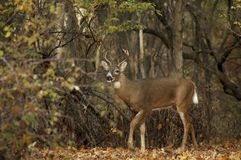 Scenic Buck Royalty Free Stock Image