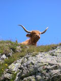 Scottish longhorn cattle Stock Photography
