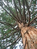 Giant old tree close-up Royalty Free Stock Images