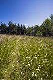Scenic chamomile meadow and evergreen firs Stock Photo