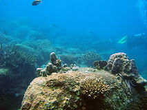 Scenic coral reef. Underwater view of tropical coral reef with scuba diver in background royalty free stock photography