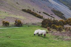 Scenic countryside landscape at a sheep farm in Lake District of Englan royalty free stock image