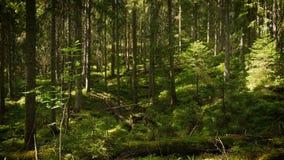 Scenic dark forest stock video