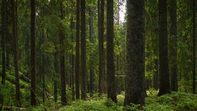 Scenic dark forest. With the old beautiful trees stock footage