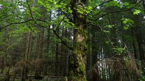 Scenic dark forest. With the old beautiful trees stock video footage