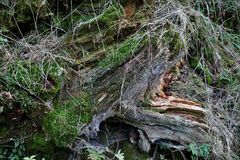 Scenic destroyed tree, stump covered with moss. Stock Images