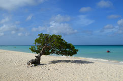 Scenic Divi Divi Tree on Eagle Beach in Aruba Royalty Free Stock Photos