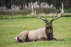 Adult Elk has huge antlers as he watches the camera. Scenic of an elk with massive antlers lying in grass royalty free stock images