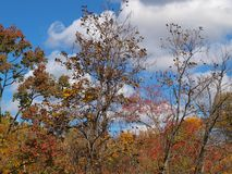 Scenic Fall of a Catalpa Tree and its Long Beans. This scenic fall scene is biforcated as it also shows the long catalpa bean pods hanging from the bare limbs stock photo