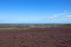Scenic flowering heather landscape Royalty Free Stock Photos