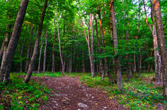 Scenic forest. Leafy green trees in countryside forest Royalty Free Stock Photo