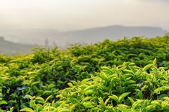 Scenic green tea leaves at tea plantation in evening. Amazing young upper fresh bright green tea leaves at tea plantation in evening. Scenic tea bushes are stock images