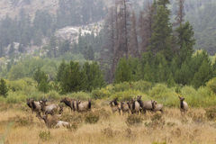 Scenic Harem of Cow elk Royalty Free Stock Image