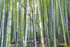 Scenic hill bamboo forest Stock Photo