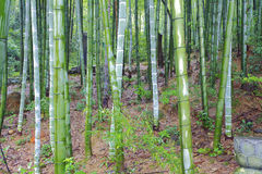 Scenic hill bamboo forest Stock Image