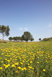 Scenic hills, buttercups and olive trees Royalty Free Stock Images