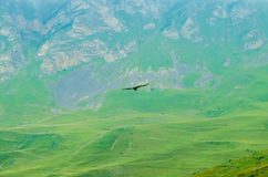 Griffon vulture or Gyps fulvus flies in mountains Royalty Free Stock Photo