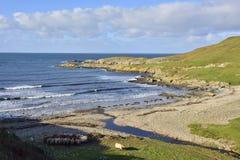 Scenic Islay. View of Kilchiaran Bay, west Islay, Scotland, showing cattle feeding stock photos