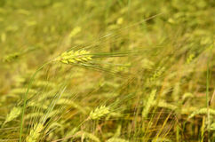 Scenic landscape with ears of barley against the sky in the sunl Stock Images