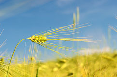 Scenic landscape with ears of barley against the sky in the sunlight in gold tones (harvest, abundance, prosperity, wealth -. Scenic landscape with ears of stock photography
