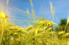 Scenic landscape with ears of barley against the sky in the sunlight in gold tones (harvest, abundance, prosperity, wealth -. Concept stock photography