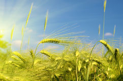 Scenic landscape with ears of barley against the sky in the sunlight in gold tones (harvest, abundance, prosperity, wealth -. Concept stock photo