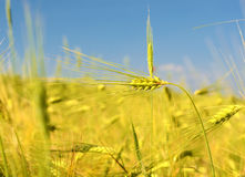 Scenic landscape with ears of barley against the sky in the sunlight in gold tones (harvest, abundance, prosperity, wealth -. Concept stock image