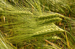 Scenic landscape with ears of barley close-up Royalty Free Stock Images