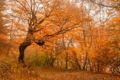 Scenic landscape of forest in fall and lonely tree. Fantasy landscape of the mysterious foggy autumn forest and lonely tree in front Stock Photo