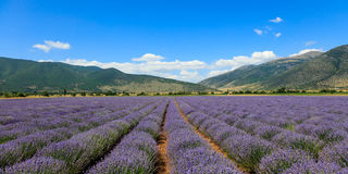 Scenic landscape with lavender field Royalty Free Stock Image