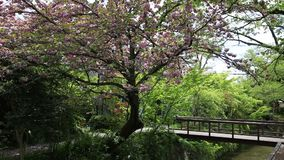 Philosopher`s Walk Sakura. Scenic landscape of Philosopher`s walk also called Tetsugaku-no-michi, a pedestrian path that follows a cherry-tree-lined canal in stock video