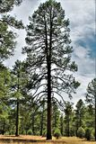 Landscape at Woods Canyon Lake, Coconino County, Arizona, United States. Scenic landscape with Ponderosa Pine trees at Woods Canyon Lake during the summer in Royalty Free Stock Photos