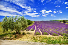 Scenic landscape of Provence with blooming lavande Stock Images