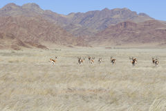 Scenic landscape with springbok in Namibia Royalty Free Stock Photos