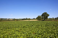Scenic mangold fields Stock Image
