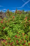 On the scenic McKenzie Pass Highway, bushes with red berries grow along the lava flow`s edge. Plant life thrives along the edge of a lava flow along the McKenzie royalty free stock photography