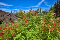 On the scenic McKenzie Pass Highway, bushes with red berries grow along the lava flow`s edge. Plant life thrives along the edge of a lava flow along the McKenzie royalty free stock image