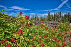 On the scenic McKenzie Pass Highway, bushes with red berries grow along the lava flow`s edge. Plant life thrives along the edge of a lava flow along the McKenzie stock photography