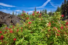 On the scenic McKenzie Pass Highway, bushes with red berries grow along the lava flow`s edge. Plant life thrives along the edge of a lava flow along the McKenzie stock image
