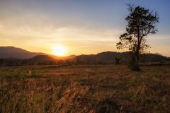 Scenic meadow landscape at sunset. Scenic landscape of grass flower or palea in meadow of mountain peak or summit at sunset in Khao Yai, Korat or Nakhon stock images