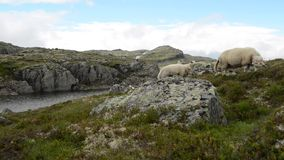 Scenic Norway Mountain Landscape with Sheep. Pasture stock video footage